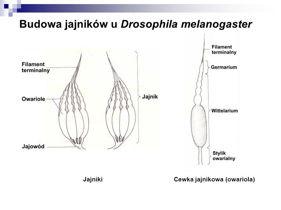 Budowa jajników u Drosophila melanogaster JajnikiCewka jajnikowa (owariola)
