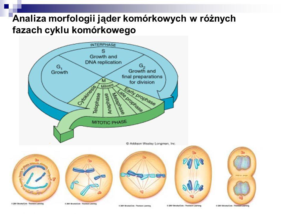 Analiza morfologii jąder komórkowych w różnych fazach cyklu komórkowego