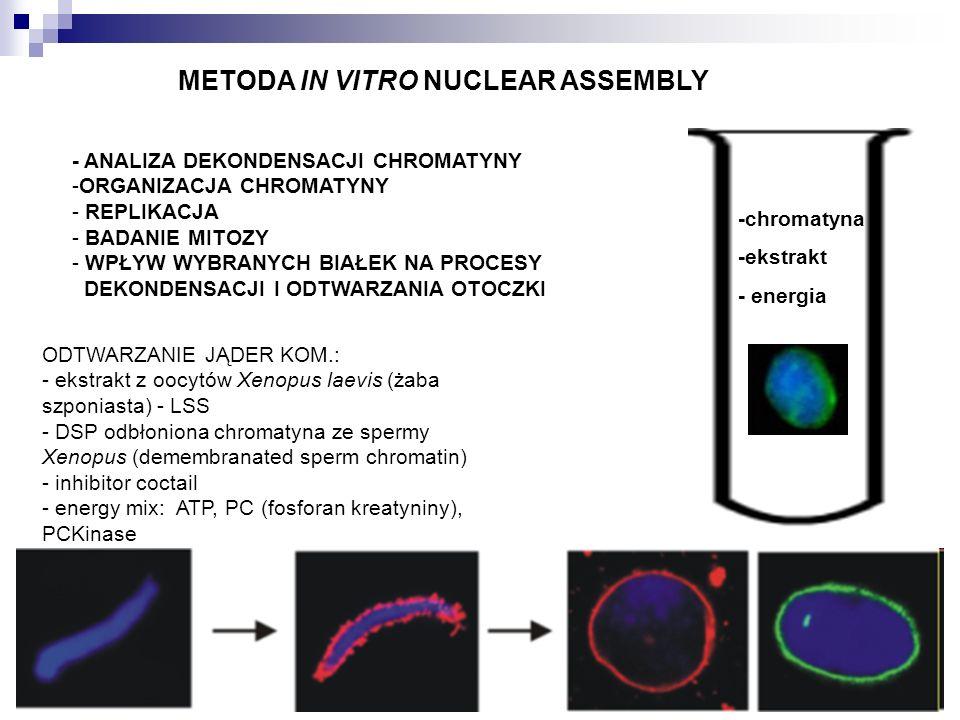 -chromatyna -ekstrakt - energia ODTWARZANIE JĄDER KOM.: - ekstrakt z oocytów Xenopus laevis (żaba szponiasta) - LSS - DSP odbłoniona chromatyna ze spe