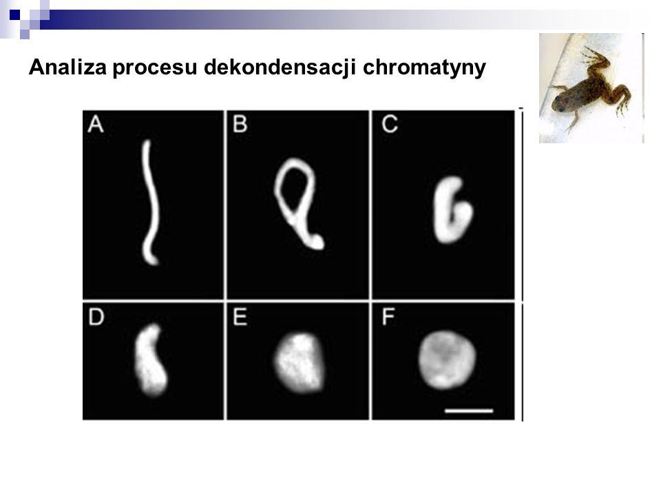 Analiza procesu dekondensacji chromatyny