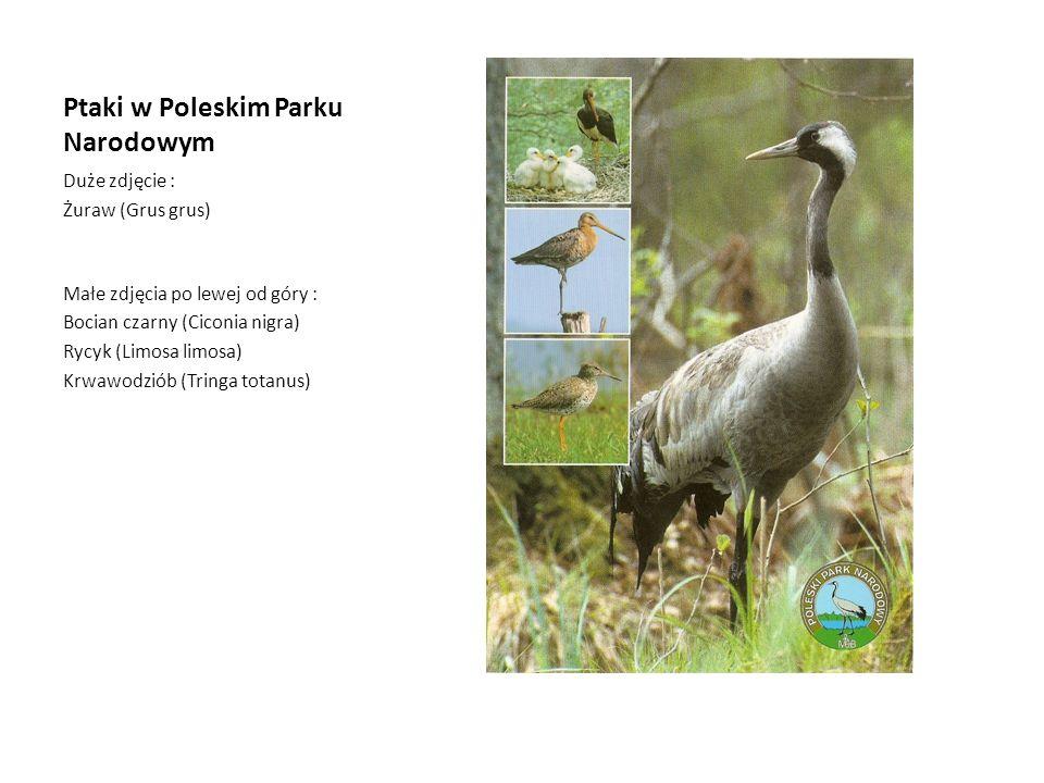 Ptaki w Poleskim Parku Narodowym Duże zdjęcie : Żuraw (Grus grus) Małe zdjęcia po lewej od góry : Bocian czarny (Ciconia nigra) Rycyk (Limosa limosa)