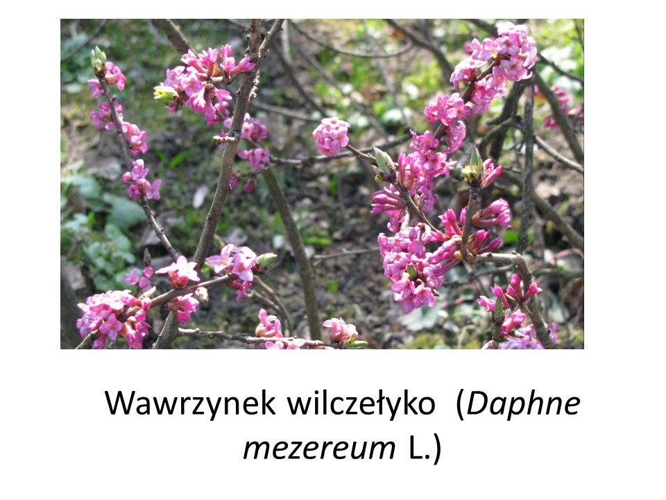 Wawrzynek wilczełyko (Daphne mezereum L.)