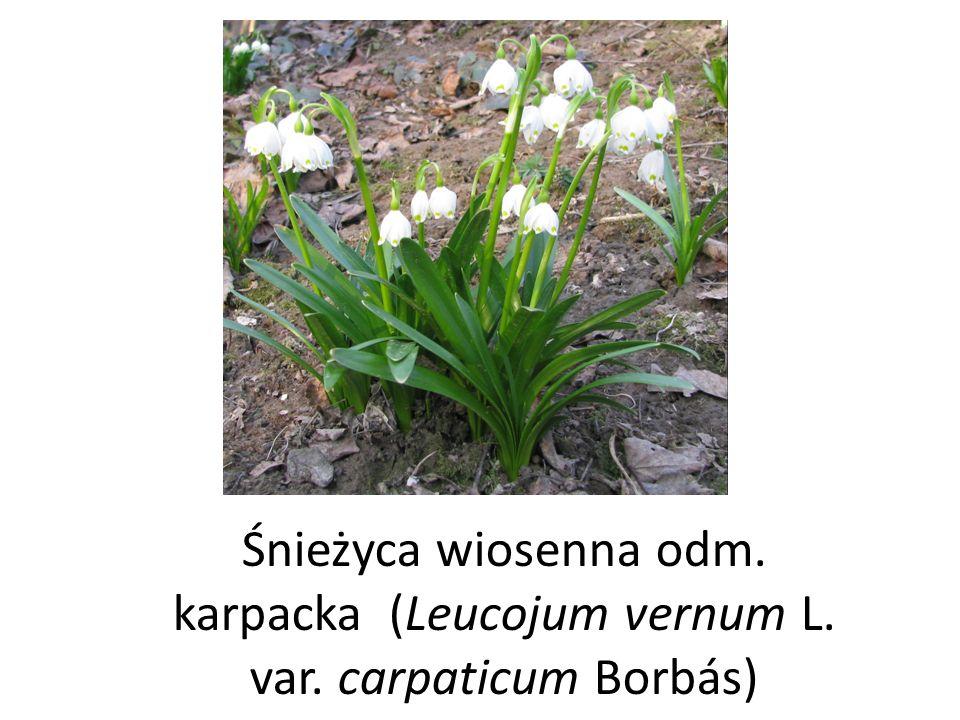 Śnieżyca wiosenna odm. karpacka (Leucojum vernum L. var. carpaticum Borbás)