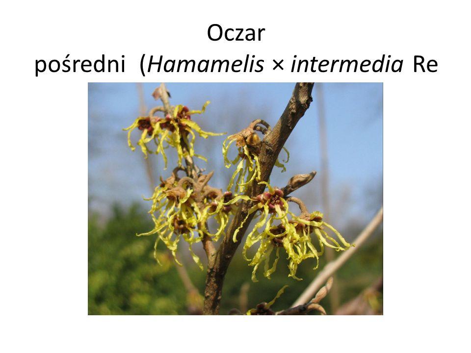 Oczar pośredni (Hamamelis × intermedia Re hder)
