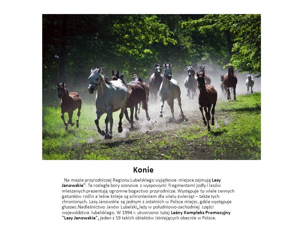 Konie Na mapie przyrodniczej Regionu Lubelskiego wyjątkowe miejsce zajmują Lasy Janowskie