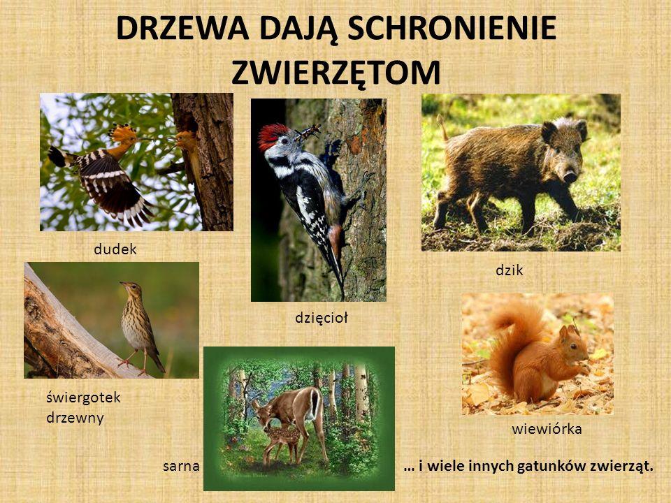 DRZEWA DAJĄ SCHRONIENIE ZWIERZĘTOM dudek dzięcioł świergotek drzewny sarna dzik wiewiórka … i wiele innych gatunków zwierząt.