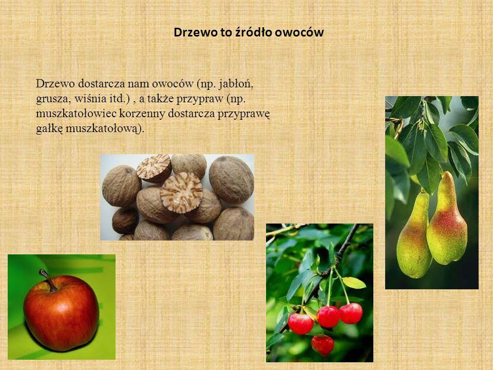 Drzewo to źródło owoców Drzewo dostarcza nam owoców (np. jabłoń, grusza, wiśnia itd.), a także przypraw (np. muszkatołowiec korzenny dostarcza przypra