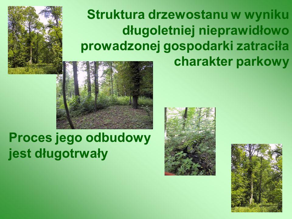 Struktura drzewostanu w wyniku długoletniej nieprawidłowo prowadzonej gospodarki zatraciła charakter parkowy Proces jego odbudowy jest długotrwały