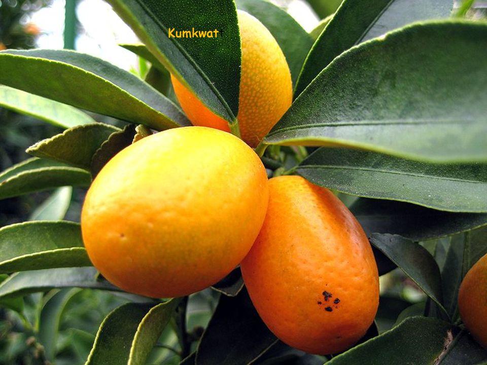 kant. skórką[ Kumkwat Fortunella Swingle (kant. kam kwat – kam 'złoto', kwat 'pomarańcza') – rodzaj małego drzewa lub krzewu należący do rodziny rutow
