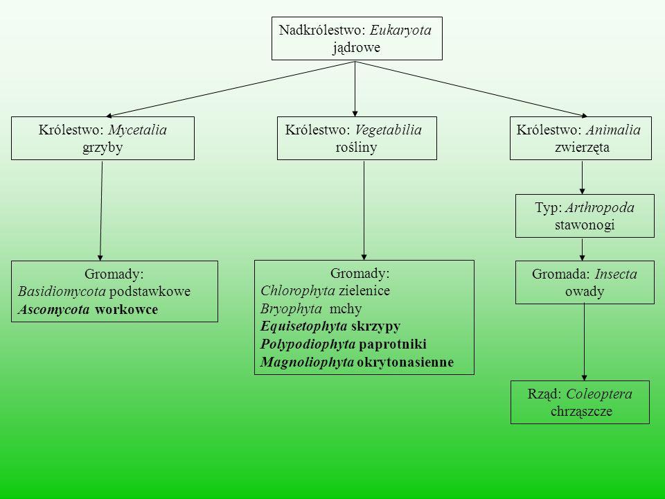 Nadkrólestwo: Eukaryota jądrowe Królestwo: Mycetalia grzyby Królestwo: Animalia zwierzęta Królestwo: Vegetabilia rośliny Gromady: Basidiomycota podsta
