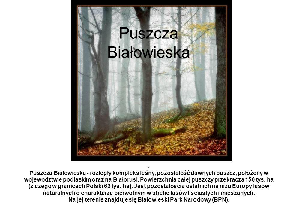 Puszcza Białowieska. Puszcza Białowieska - rozległy kompleks leśny, pozostałość dawnych puszcz, położony w województwie podlaskim oraz na Białorusi. P