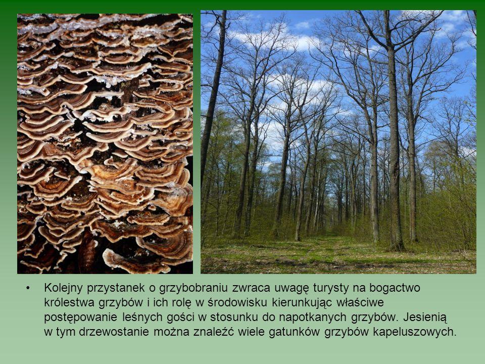 Kolejny przystanek o grzybobraniu zwraca uwagę turysty na bogactwo królestwa grzybów i ich rolę w środowisku kierunkując właściwe postępowanie leśnych gości w stosunku do napotkanych grzybów.