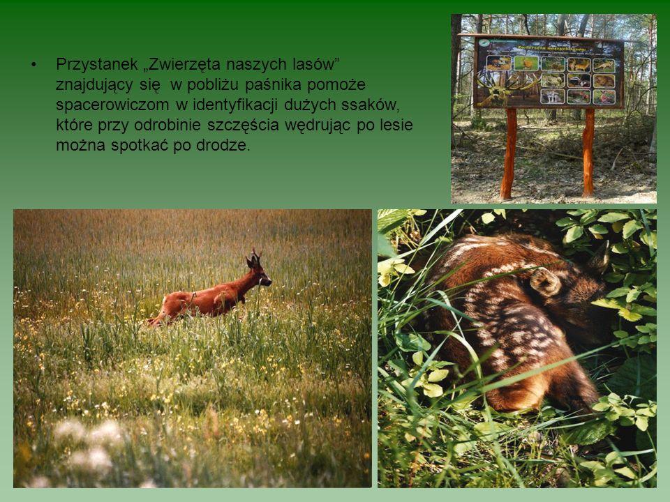 Przystanek Zwierzęta naszych lasów znajdujący się w pobliżu paśnika pomoże spacerowiczom w identyfikacji dużych ssaków, które przy odrobinie szczęścia