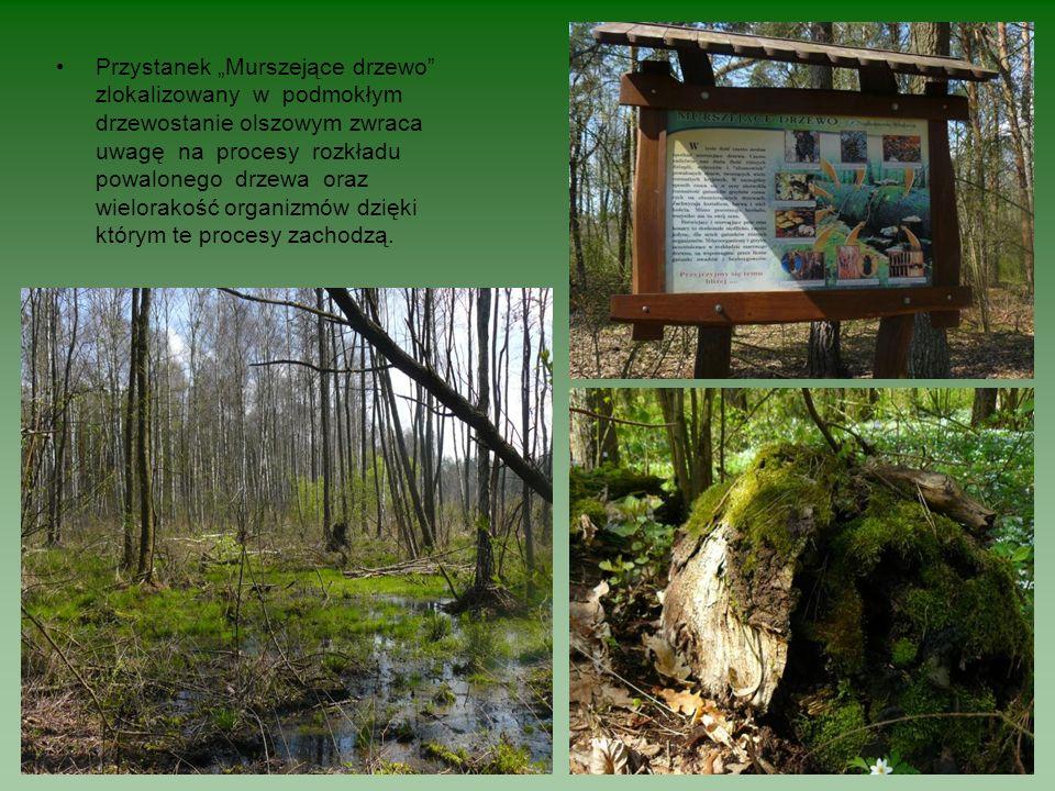 Przystanek Murszejące drzewo zlokalizowany w podmokłym drzewostanie olszowym zwraca uwagę na procesy rozkładu powalonego drzewa oraz wielorakość organ