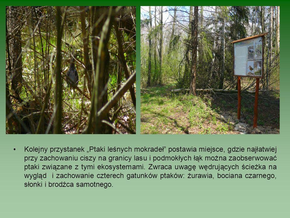 Kolejny przystanek Ptaki leśnych mokradeł postawia miejsce, gdzie najłatwiej przy zachowaniu ciszy na granicy lasu i podmokłych łąk można zaobserwować ptaki związane z tymi ekosystemami.