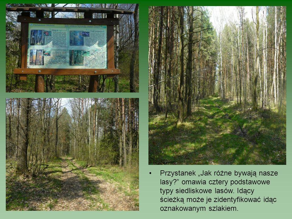 Przystanek Jak różne bywają nasze lasy? omawia cztery podstawowe typy siedliskowe lasów. Idący ścieżką może je zidentyfikować idąc oznakowanym szlakie