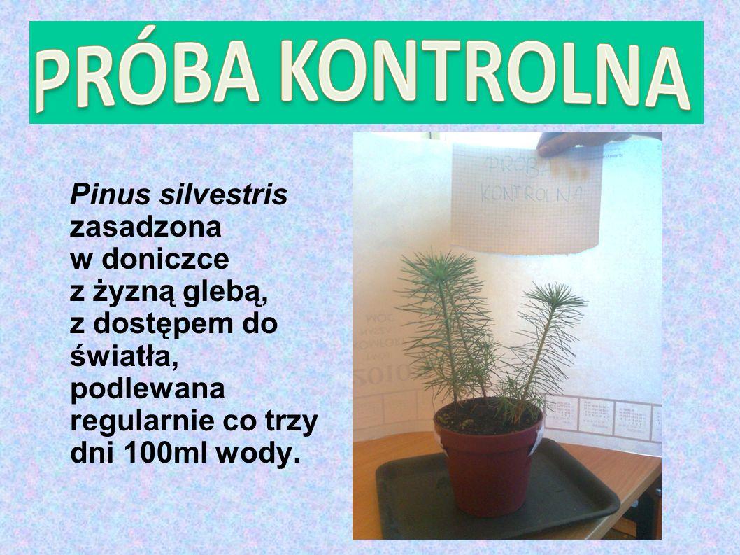 Pinus silvestris zasadzona w doniczce z żyzną glebą, z dostępem do światła, podlewana regularnie co trzy dni 100ml wody.