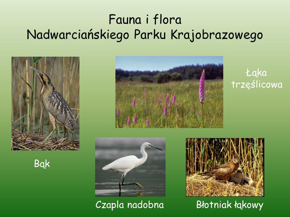 Fauna i flora Nadwarciańskiego Parku Krajobrazowego Bąk Łąka trzęślicowa Czapla nadobnaBłotniak łąkowy
