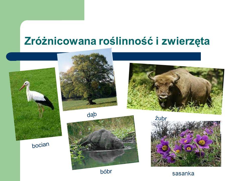 Zróżnicowana roślinność i zwierzęta żubr bocian bóbr dąb sasanka