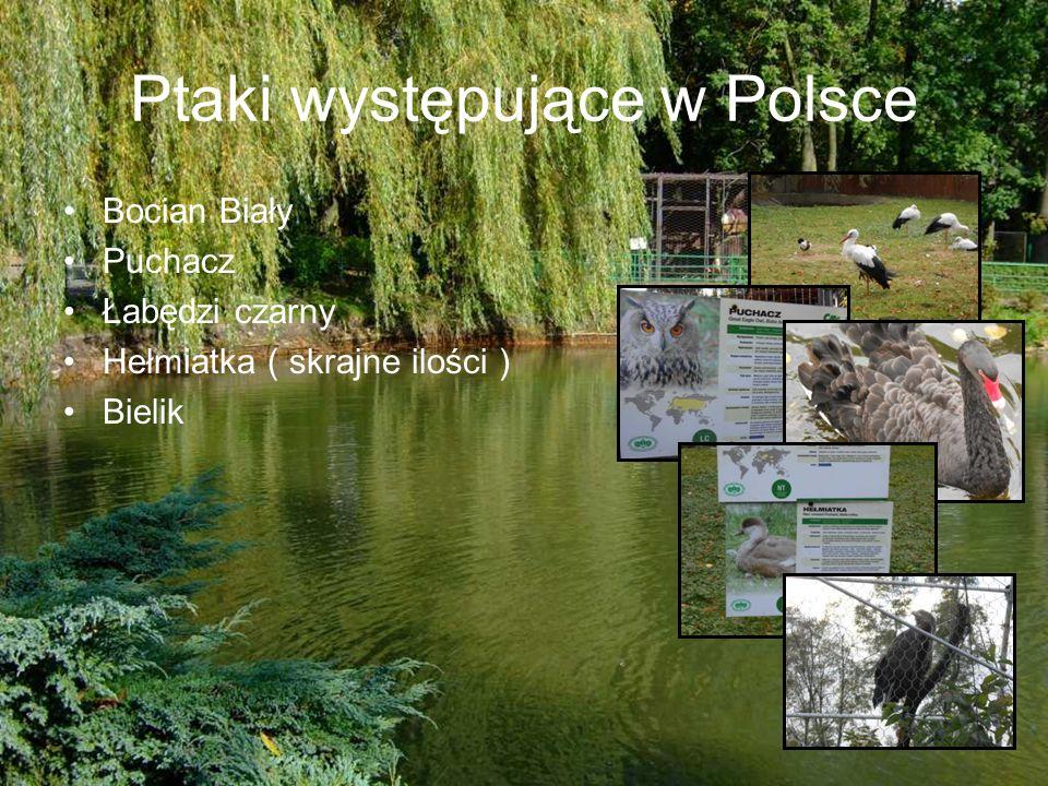 Ptaki występujące w Polsce Bocian Biały Puchacz Łabędzi czarny Hełmiatka ( skrajne ilości ) Bielik