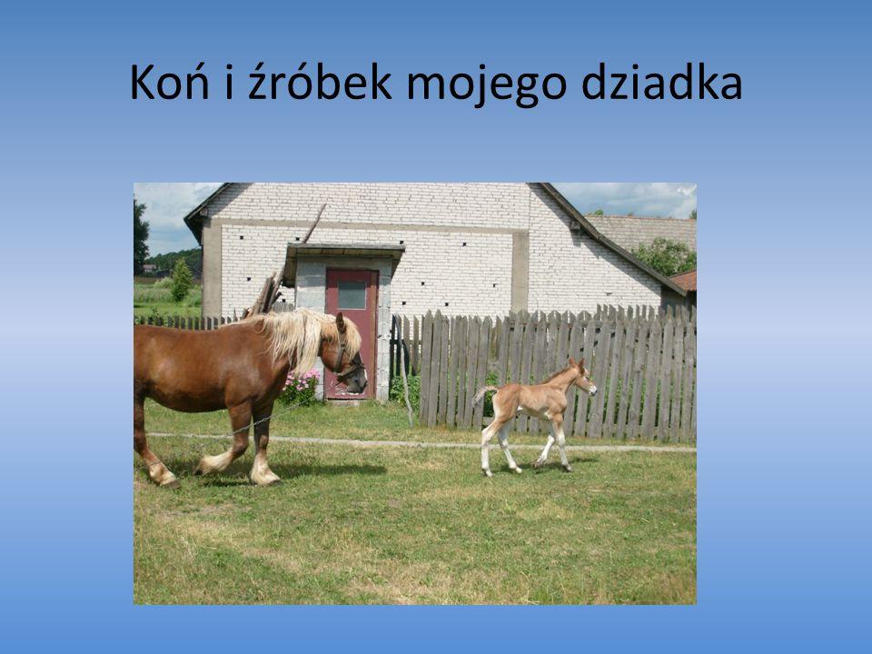 Koń i źróbek mojego dziadka