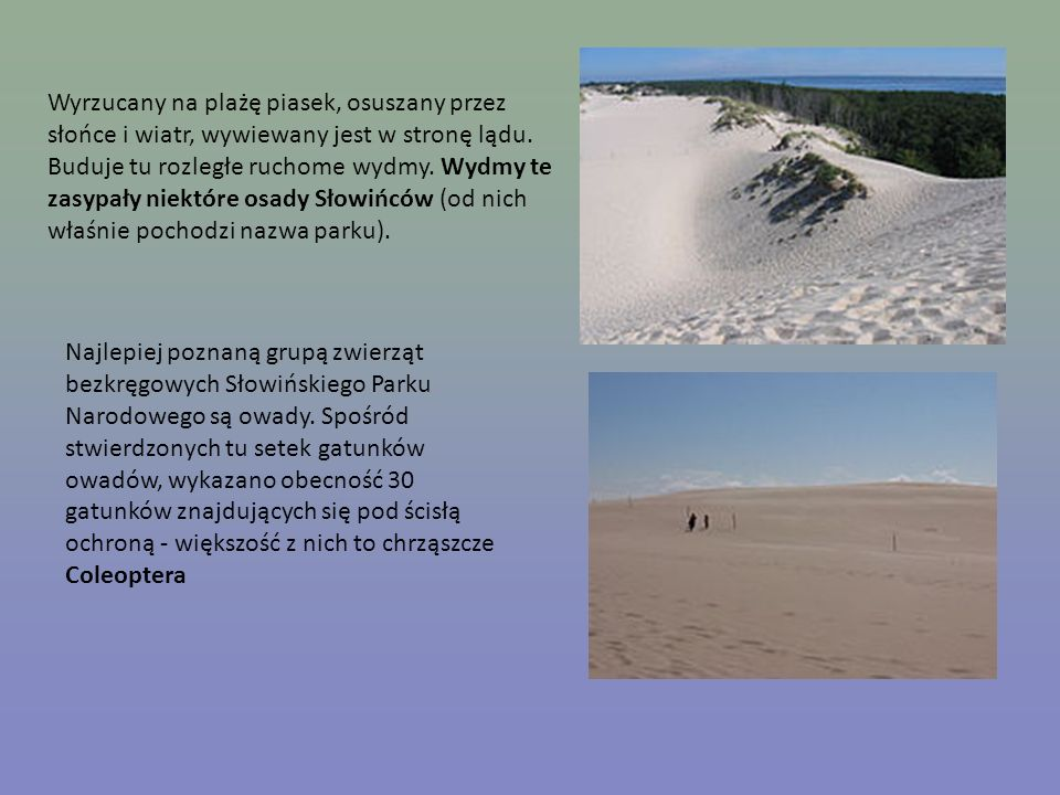 Wyrzucany na plażę piasek, osuszany przez słońce i wiatr, wywiewany jest w stronę lądu. Buduje tu rozległe ruchome wydmy. Wydmy te zasypały niektóre o
