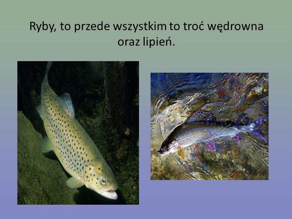 Ryby, to przede wszystkim to troć wędrowna oraz lipień.