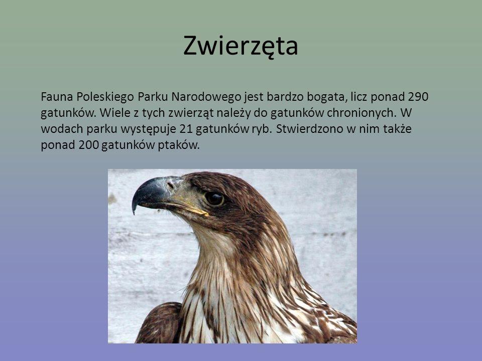 Zwierzęta Fauna Poleskiego Parku Narodowego jest bardzo bogata, licz ponad 290 gatunków. Wiele z tych zwierząt należy do gatunków chronionych. W wodac