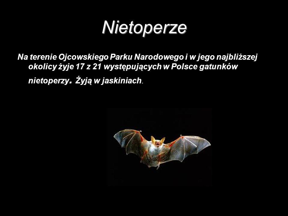Nietoperze Na terenie Ojcowskiego Parku Narodowego i w jego najbliższej okolicy żyje 17 z 21 występujących w Polsce gatunków nietoperzy. Żyją w jaskin