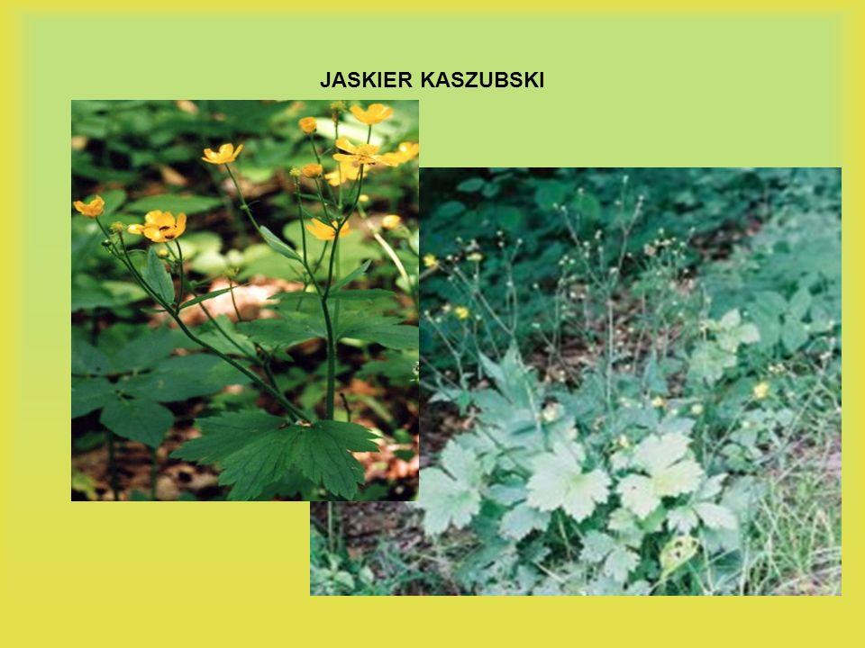JASKIER KASZUBSKI