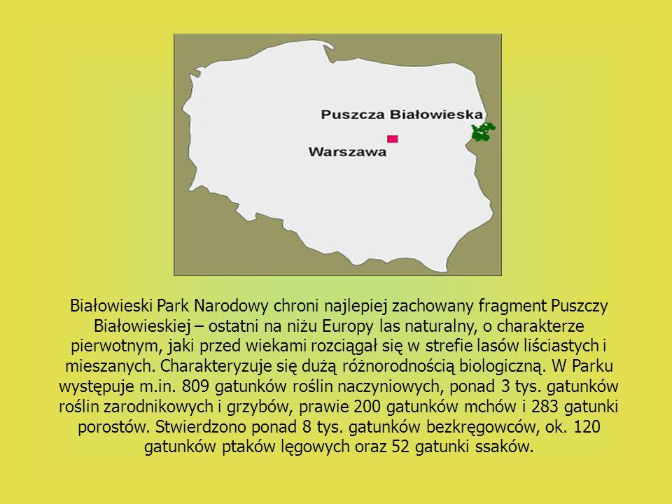 Białowieski Park Narodowy chroni najlepiej zachowany fragment Puszczy Białowieskiej – ostatni na niżu Europy las naturalny, o charakterze pierwotnym,
