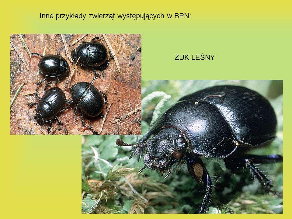 ŻUK LEŚNY Inne przykłady zwierząt występujących w BPN: