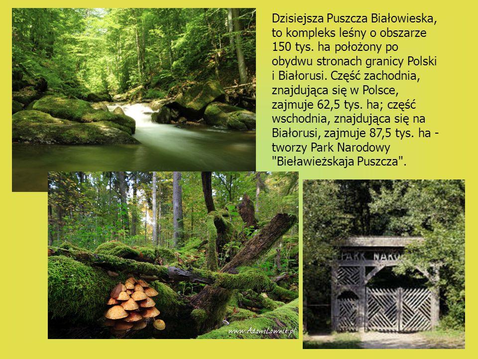 Dzisiejsza Puszcza Białowieska, to kompleks leśny o obszarze 150 tys. ha położony po obydwu stronach granicy Polski i Białorusi. Część zachodnia, znaj
