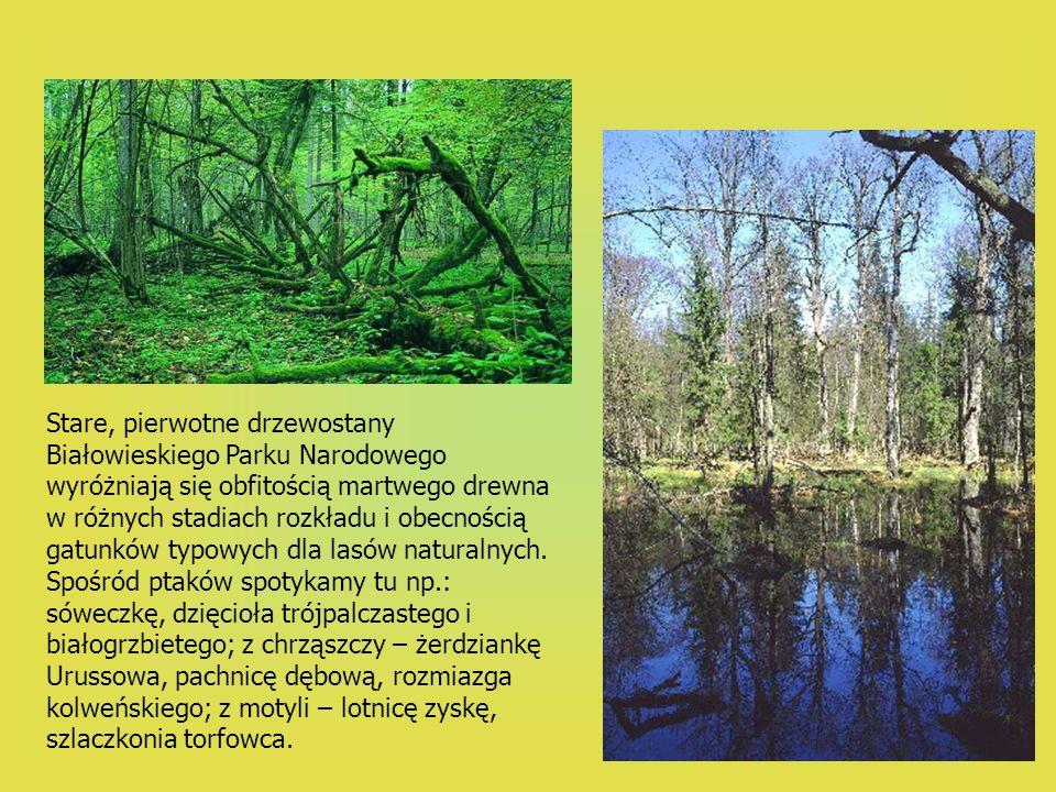 Stare, pierwotne drzewostany Białowieskiego Parku Narodowego wyróżniają się obfitością martwego drewna w różnych stadiach rozkładu i obecnością gatunk