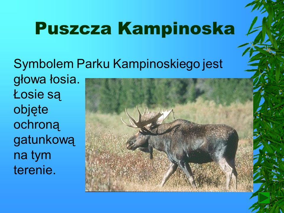 Puszcza Kampinoska Na terenie Puszczy Kampinoskiej utworzono Kampinoski Park Narodowy. Jest to największy park narodowy w Polsce. Jego osobliwością są