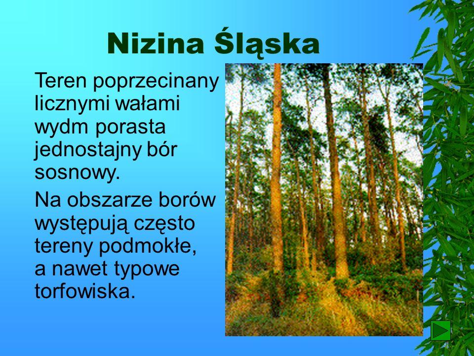 Nizina Śląska Przez środek Niziny Śląskiej płynie Odra z licznymi dopływami. Dolina Odry przechodzi na odcinku środkowym w rozległe obniżenie porośnię