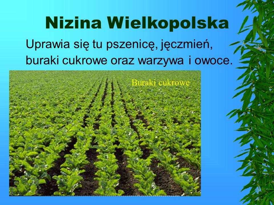 Nizina Wielkopolska Nizina Wielkopolska to jeden z największych okręgów rolniczych w Polsce.