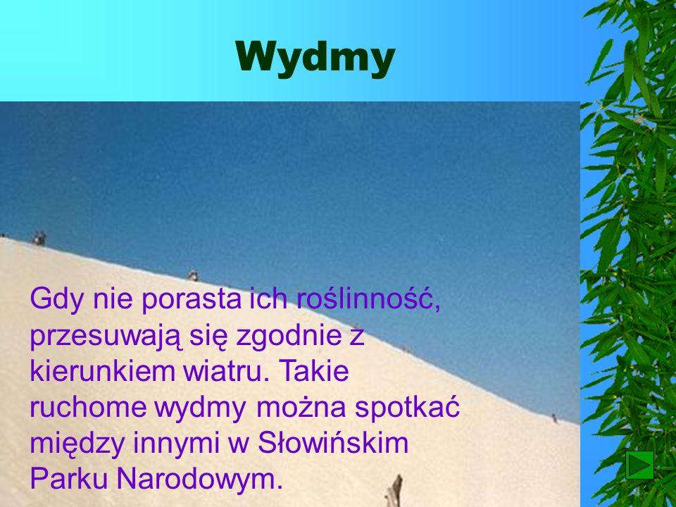 Wydmy Często na wybrzeżach Bałtyku spotykamy wydmy. Są to piaszczyste wzniesienia usypane przez wiatr.