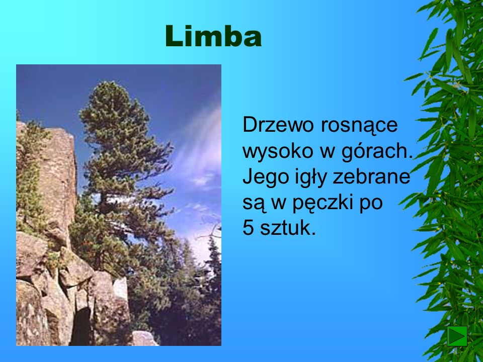Limba Drzewo rosnące wysoko w górach. Jego igły zebrane są w pęczki po 5 sztuk.