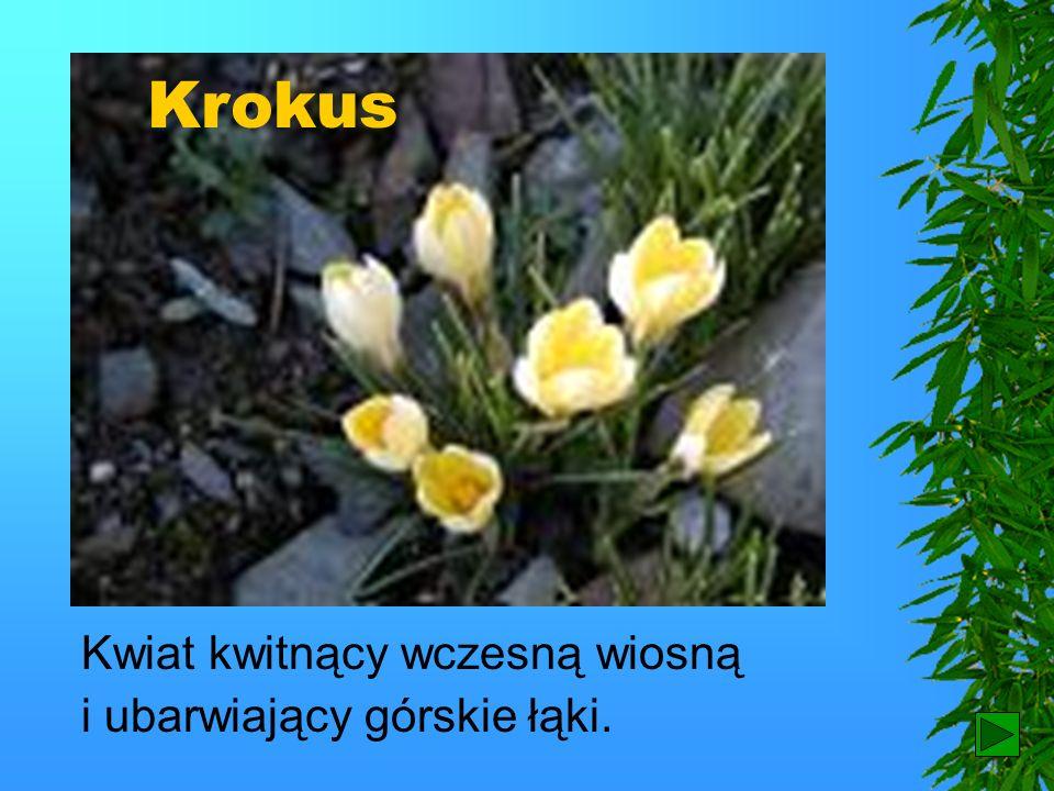 Krokus Kwiat kwitnący wczesną wiosną i ubarwiający górskie łąki.