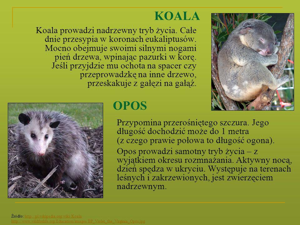 KOALA Koala prowadzi nadrzewny tryb życia. Całe dnie przesypia w koronach eukaliptusów. Mocno obejmuje swoimi silnymi nogami pień drzewa, wpinając paz