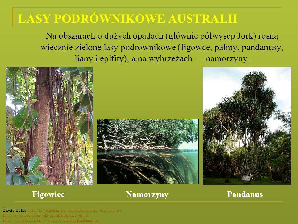LASY PODRÓWNIKOWE AUSTRALII Na obszarach o dużych opadach (głównie półwysep Jork) rosną wiecznie zielone lasy podrównikowe (figowce, palmy, pandanusy,