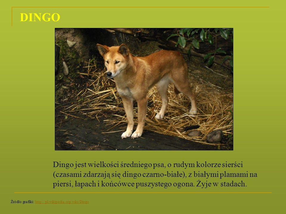 Dingo jest wielkości średniego psa, o rudym kolorze sierści (czasami zdarzają się dingo czarno-białe), z białymi plamami na piersi, łapach i końcówce
