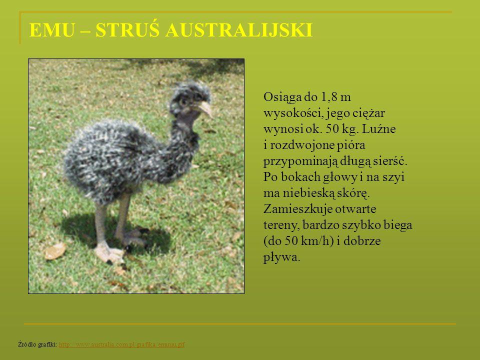 EMU – STRUŚ AUSTRALIJSKI Osiąga do 1,8 m wysokości, jego ciężar wynosi ok. 50 kg. Luźne i rozdwojone pióra przypominają długą sierść. Po bokach głowy