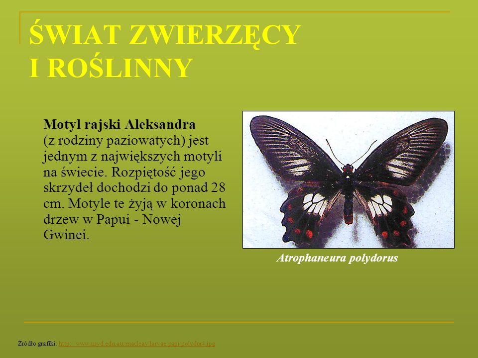 ŚWIAT ZWIERZĘCY I ROŚLINNY Motyl rajski Aleksandra (z rodziny paziowatych) jest jednym z największych motyli na świecie. Rozpiętość jego skrzydeł doch