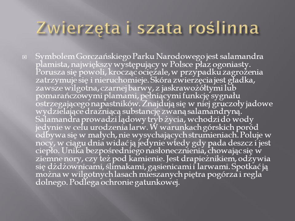 Symbolem Gorczańskiego Parku Narodowego jest salamandra plamista, największy występujący w Polsce płaz ogoniasty. Porusza się powoli, krocząc ociężale
