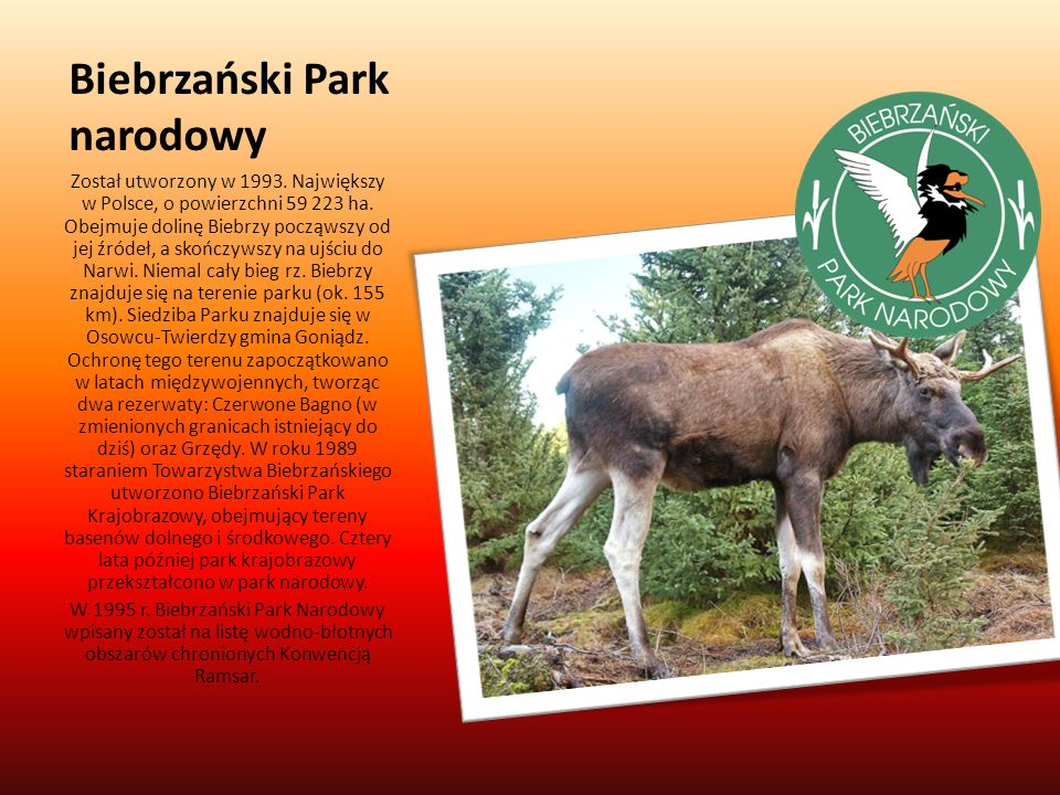 Biebrzański Park narodowy Został utworzony w 1993. Największy w Polsce, o powierzchni 59 223 ha. Obejmuje dolinę Biebrzy począwszy od jej źródeł, a sk