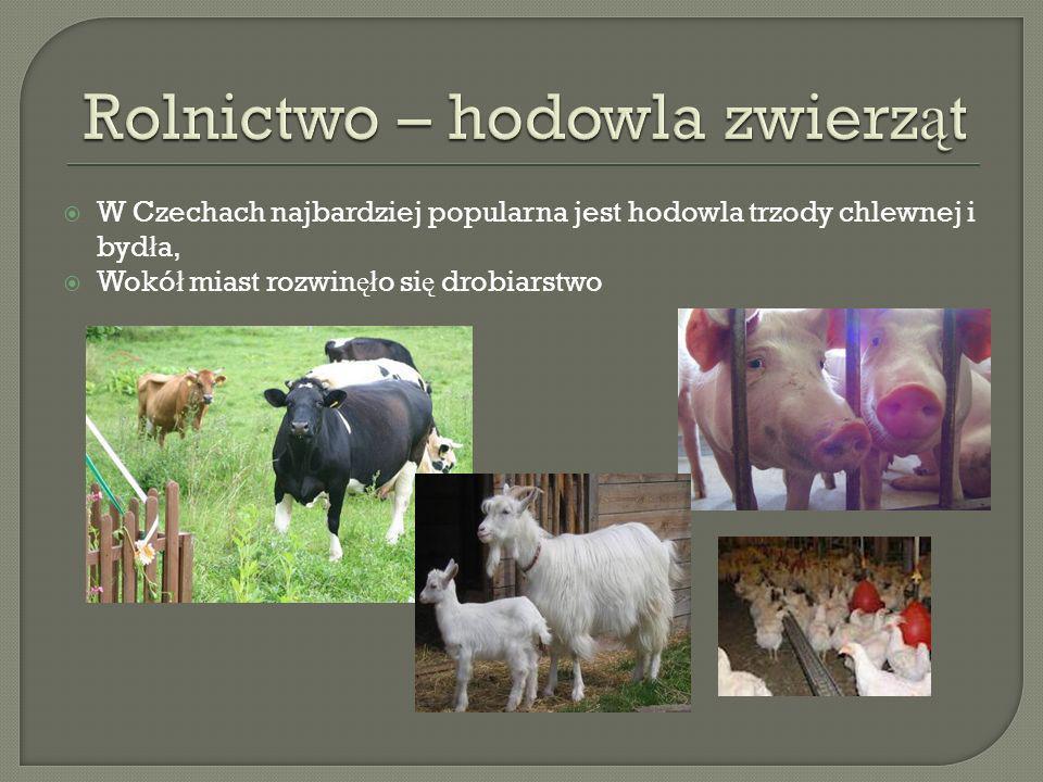 W Czechach najbardziej popularna jest hodowla trzody chlewnej i byd ł a, Wokó ł miast rozwin ęł o si ę drobiarstwo