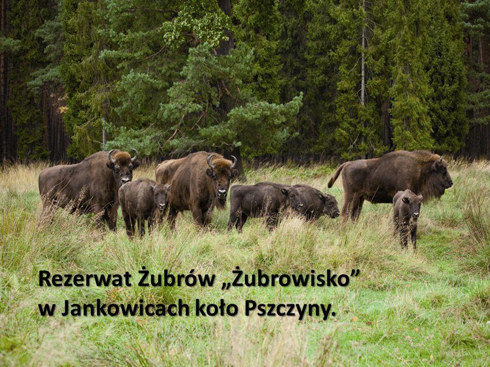 Rezerwat Żubrów Żubrowisko w Jankowicach koło Pszczyny.