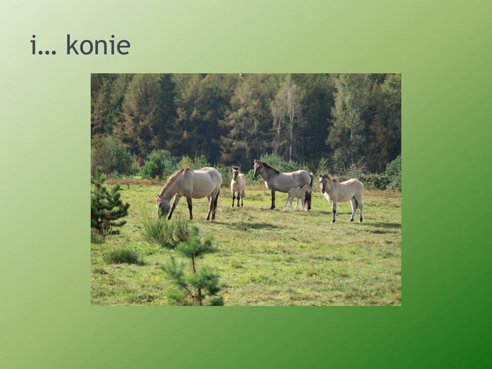 i… konie